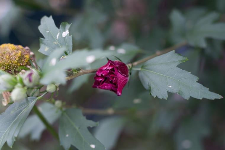 rose of sharon | JM Creates